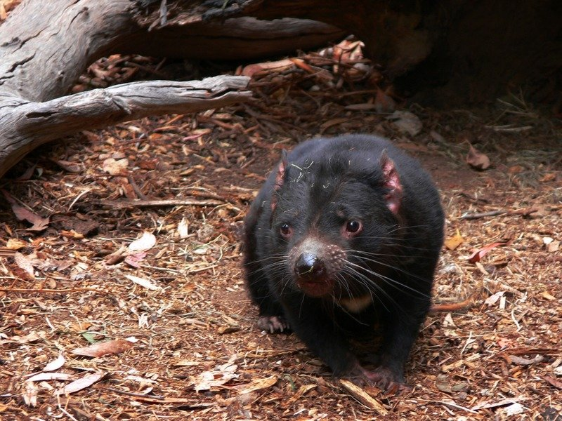 tasmanian devils pic 800