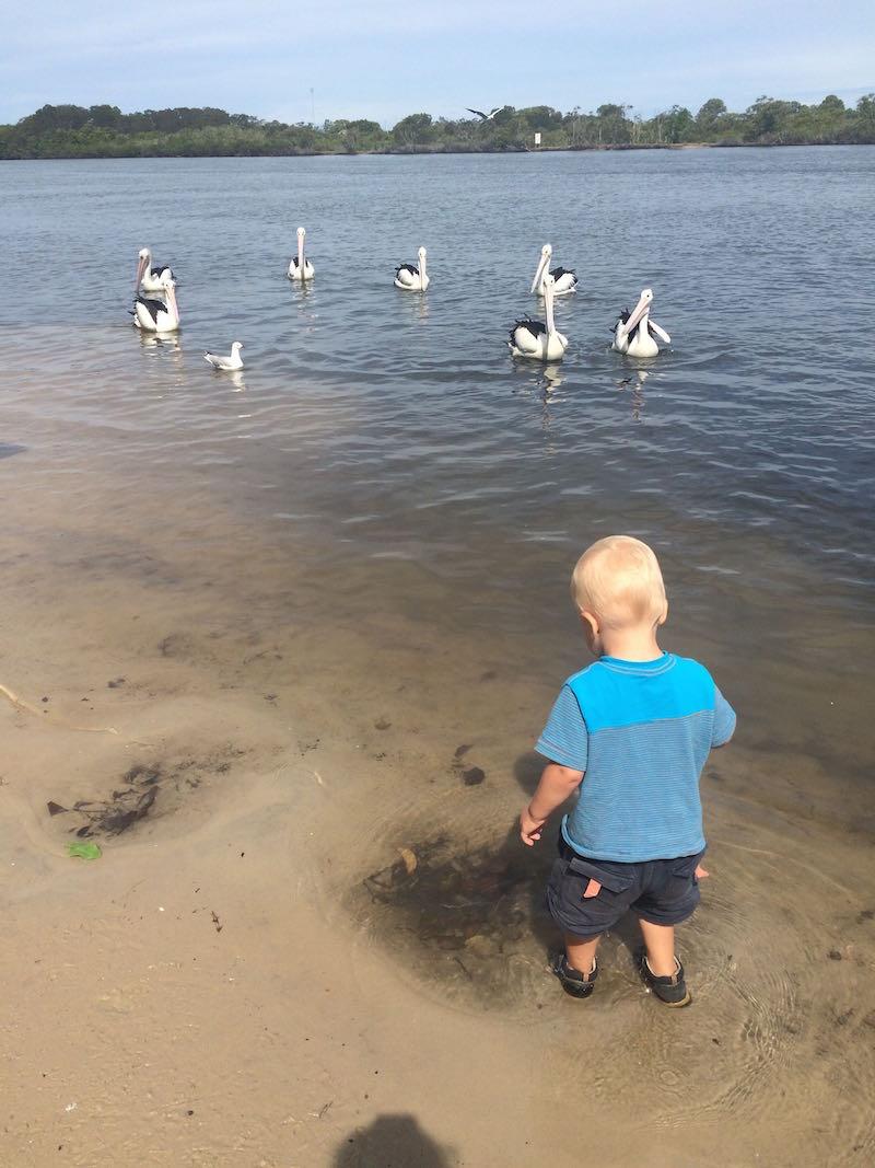 ray pascoe park feed the pelicans gold coast