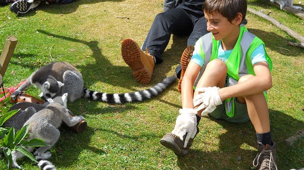 junior zoo keeper for the day uk lemur