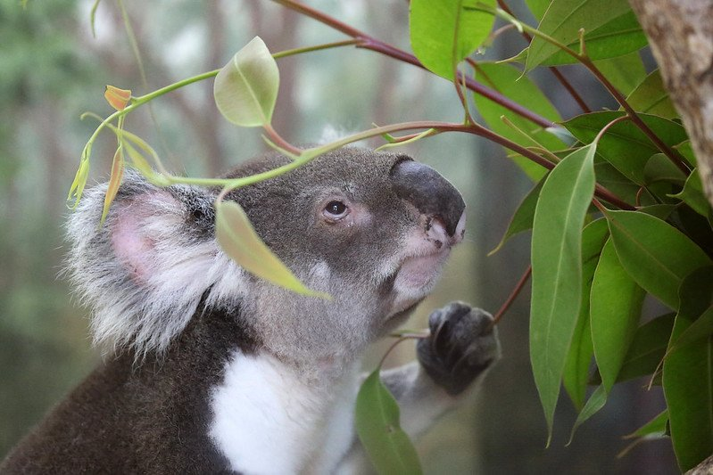 australia zoo koala by cuatrok77