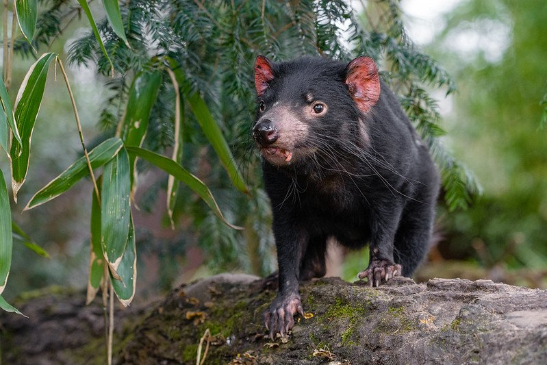 australia zoo tasmanian devil by mathias appel