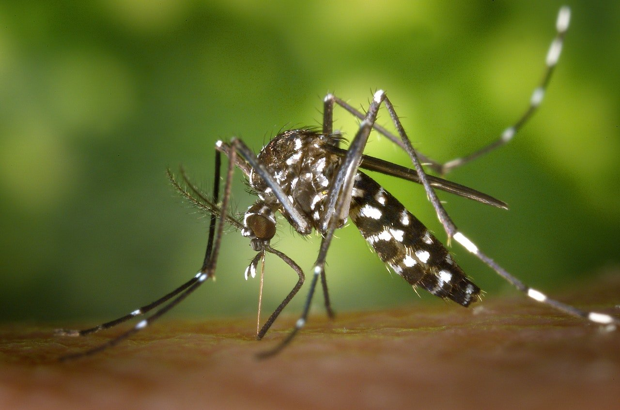black-white-mosquito-86722