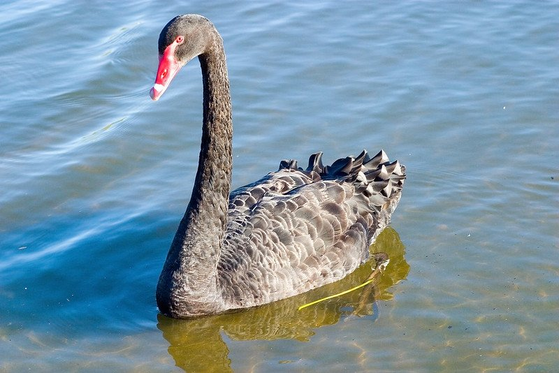 swan on lake burley griffin canberra by john