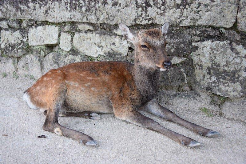 miyajima island deer pic