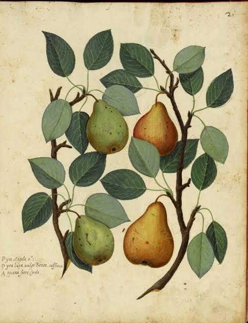 botanical illustration from rome pic