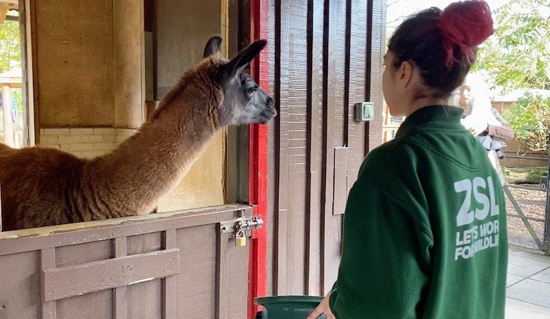 image - children's petting zoo london zoo llama