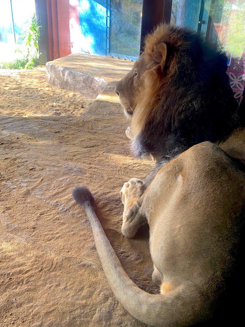 image - london zoo sleepovers UK gir lodge lion