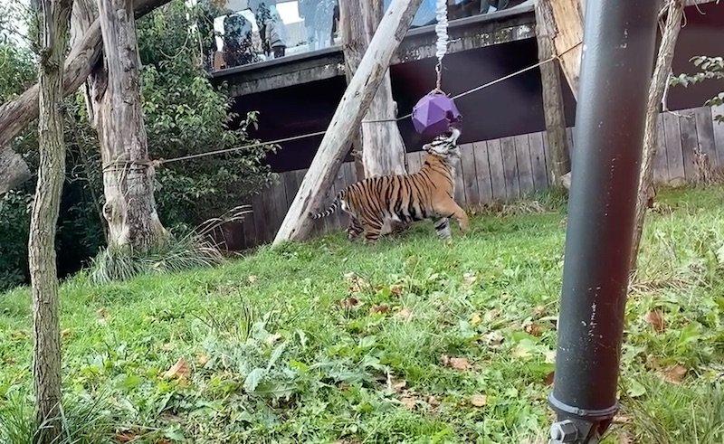 image - tiger territory london zoo