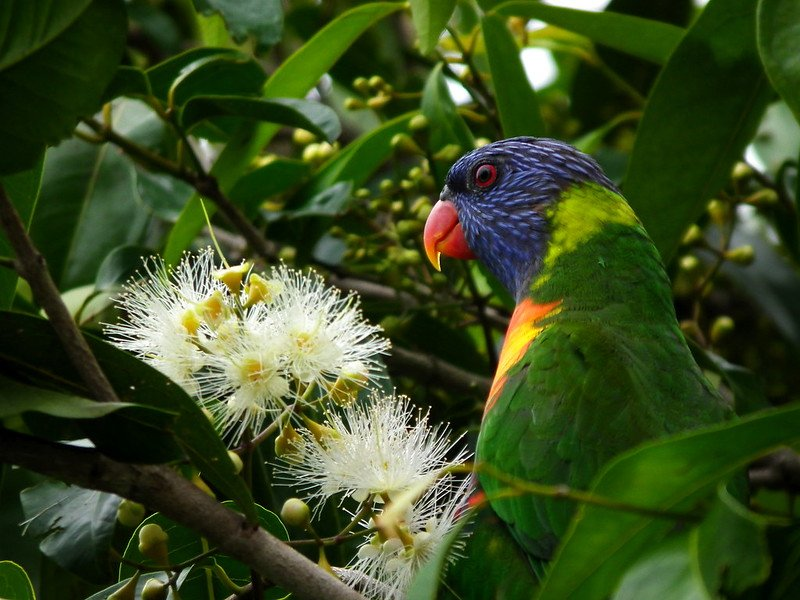 rainbow lorikeet by james niland