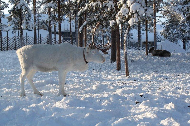 white reindeer by jann kuusisaari