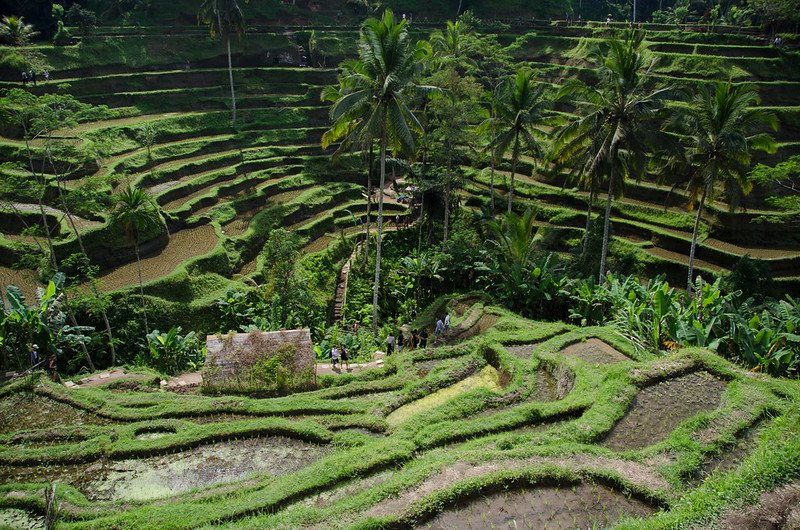 how to avoid mosquitos in bali in rice paddies by dom crossley flickr pic