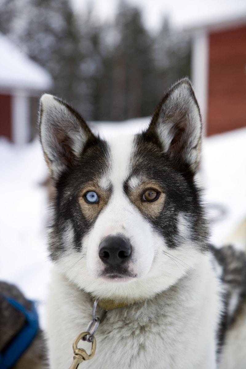 husky odd eyes pic by visit rovaniemi