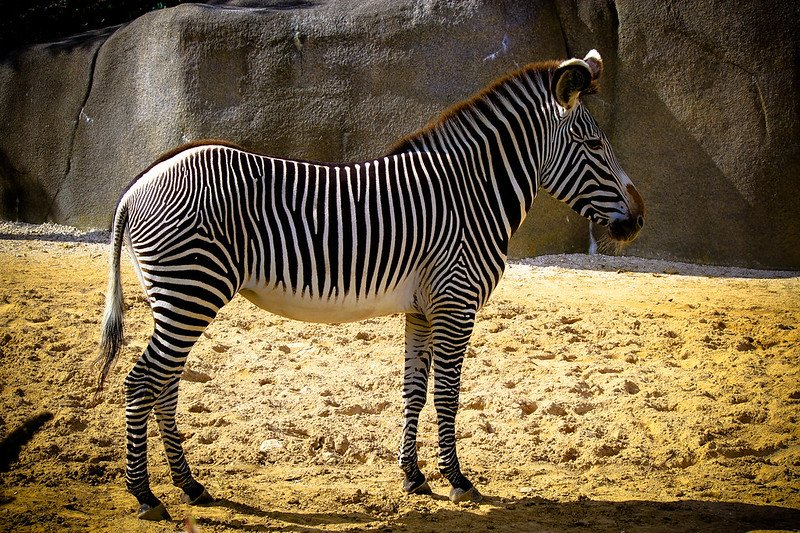 zebra at paris zoo pic