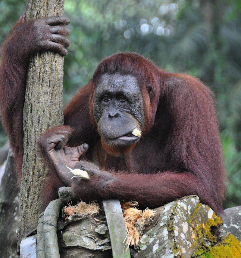 orangutang by michael gwyther-jones