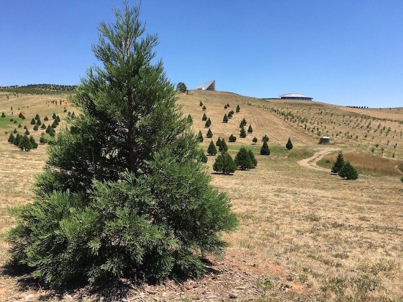 arboretum canberra fir tree forest pic