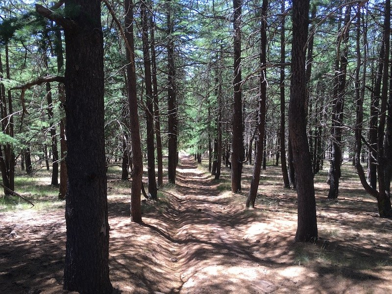 arboretum canberra himalayan cedar forest