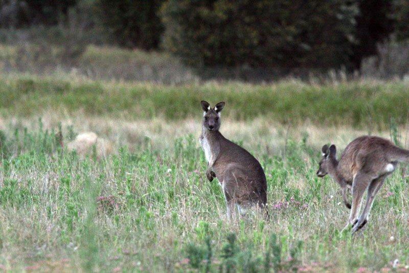canberra kangaroos by eva rinaldi