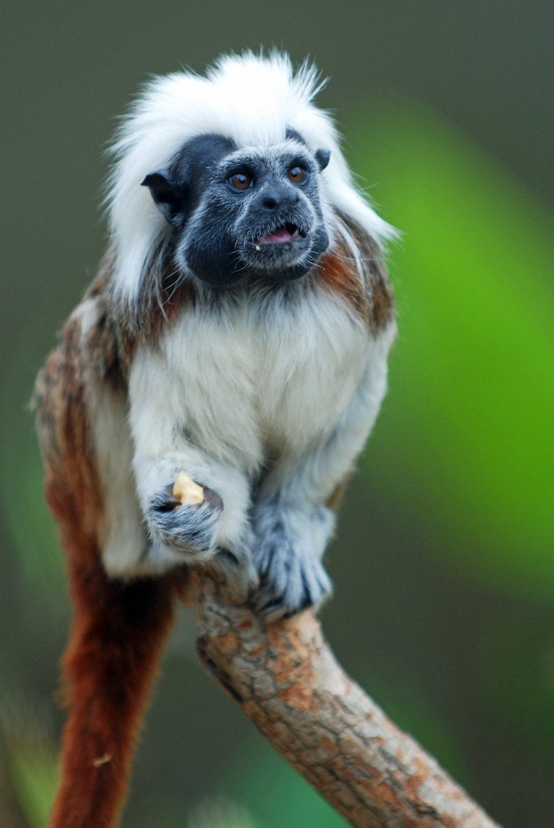 cotton top tamarin pic by brad flickr
