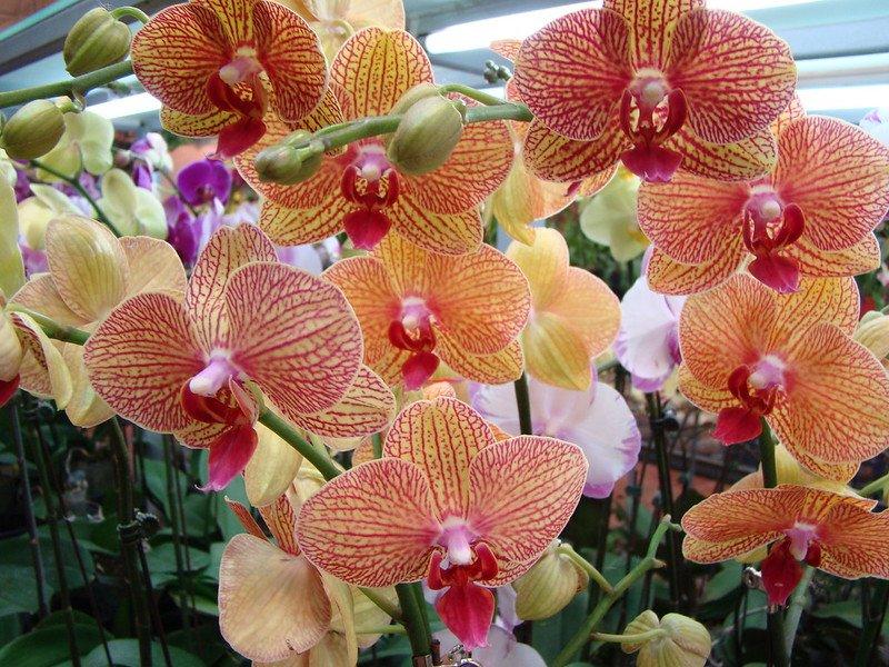 hong kong flower market orchids by vasenka photography