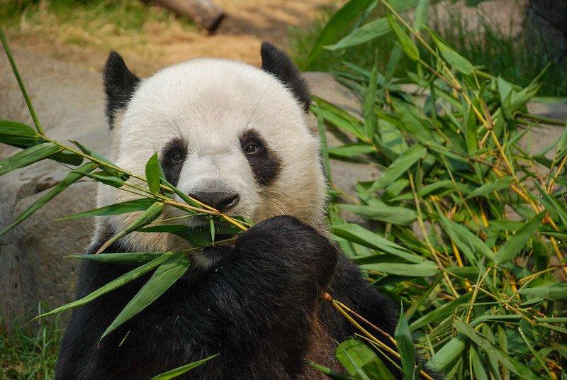 ocean park pandas pic by xiquinhosilva