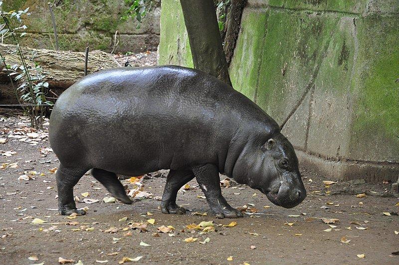 800px-Pygmy_hippopotamus_Rome bioparco zoo