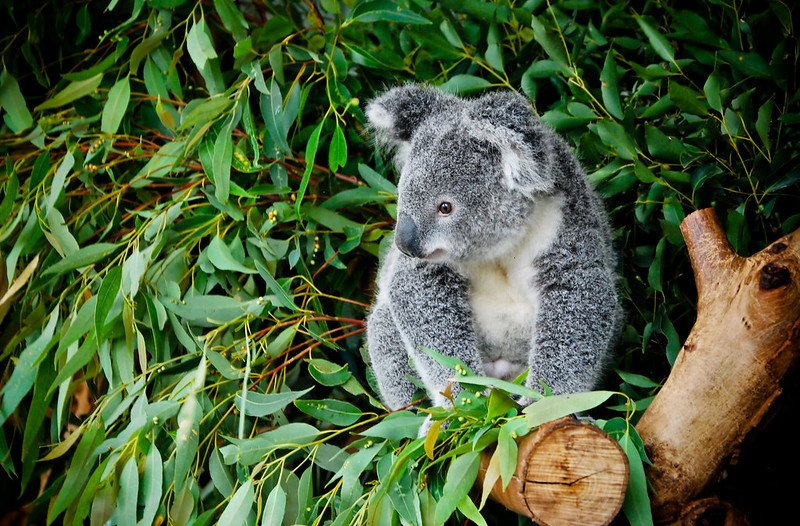 koala by may wong