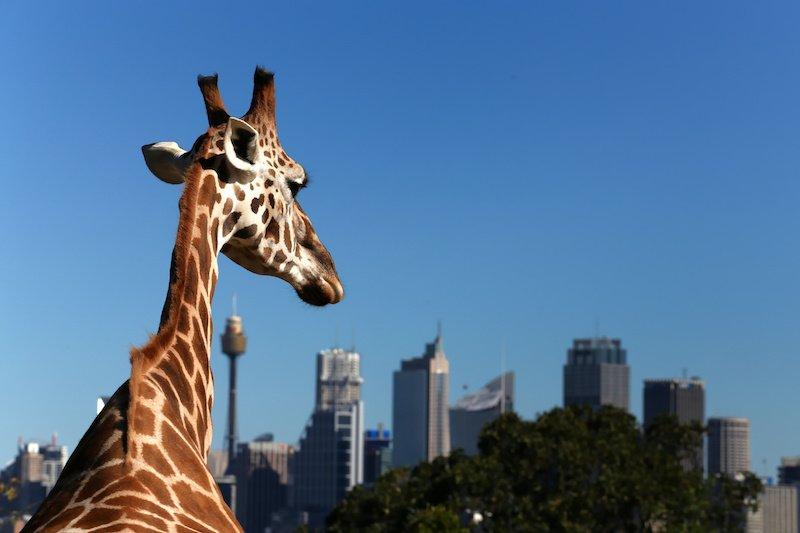 pic - Giraffe looks towards Sydney's financial district