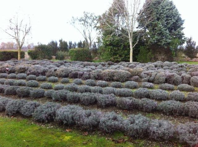 Nevaria-Lavender-Farm pic