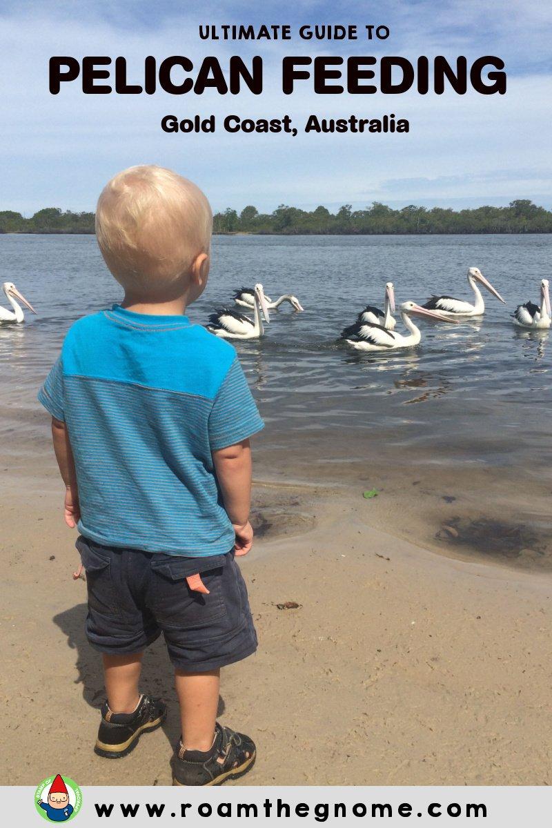 PIN pelican feeding gold coast pic