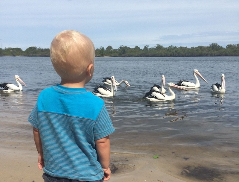 jack with pelicans tweed heads kennedy drive 800