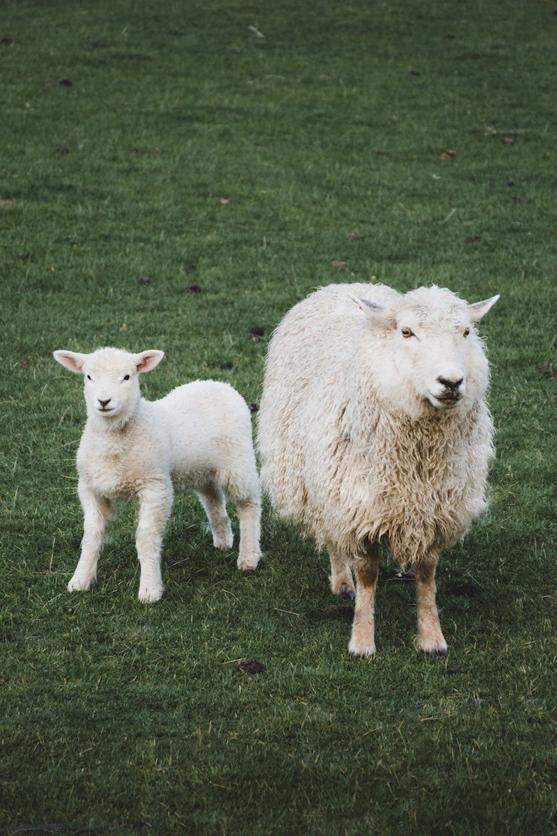 new zealand wool pic by fergus so