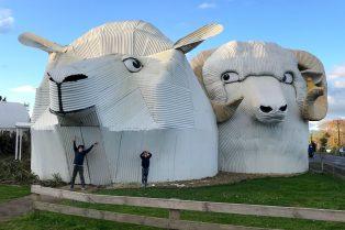 tirau big sheep and ram 800