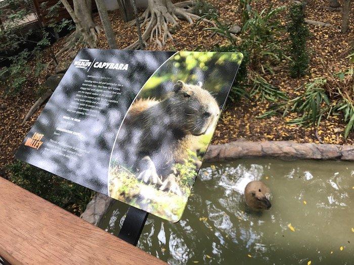 image - currumbin bird sanctuary capybara