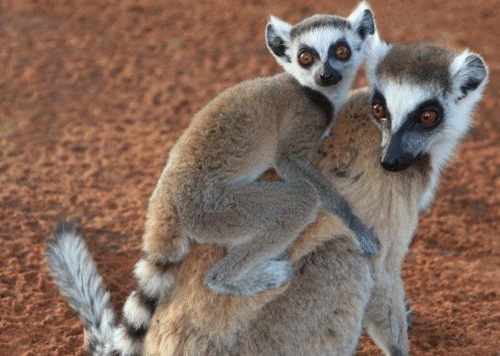 image -lemurs at currumbin sanctuary pic