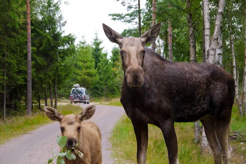 image - smalandet moose safari