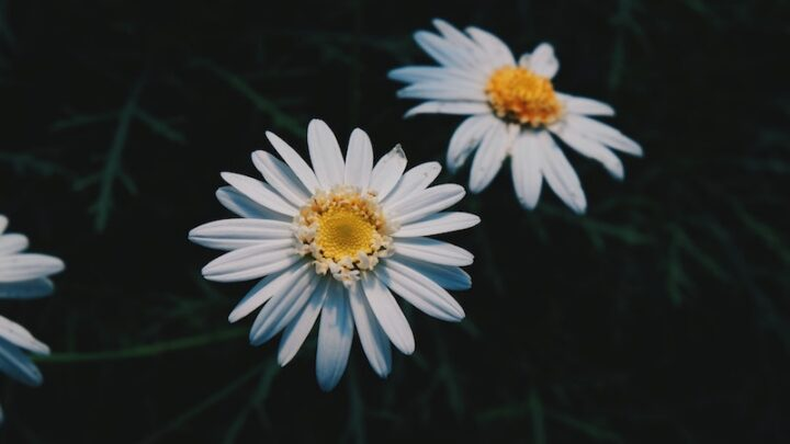 image - daisy header for edible flowers australia
