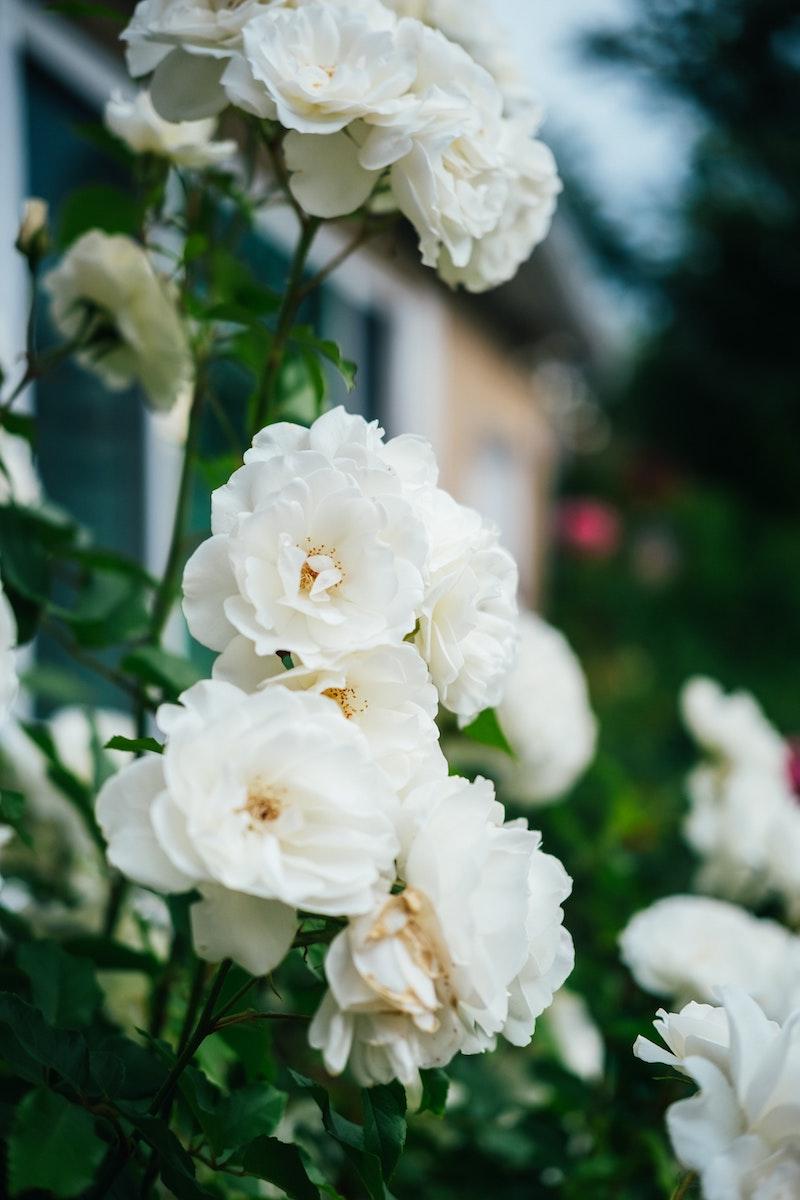 image - rose bush by tyler-davis-