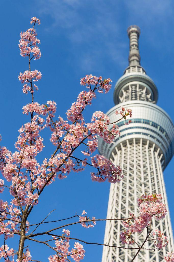 image - tokyo-skytree-with-sakura by marco verch